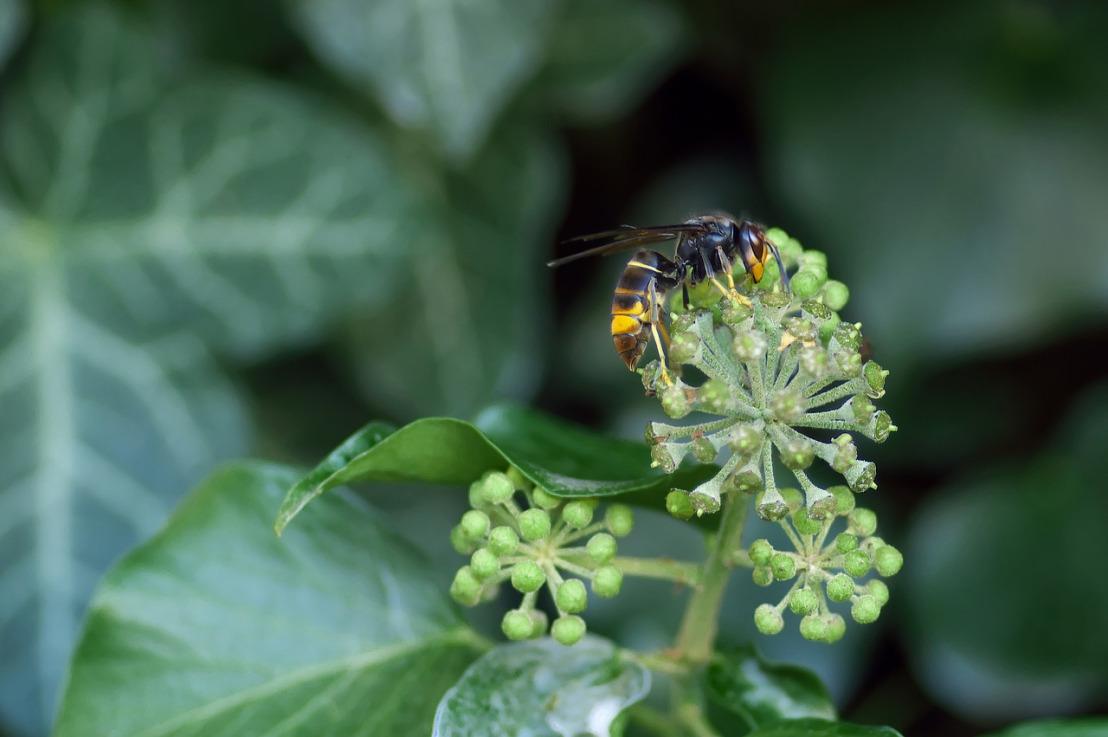 asian-hornet-1822314_1280(1)